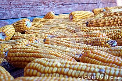 Collecte d automne - maïs