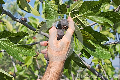 Hand collecting figs