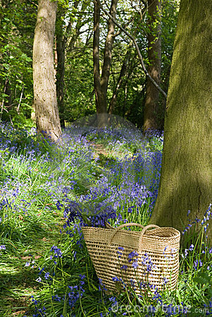 Collecting Wild Bluebells