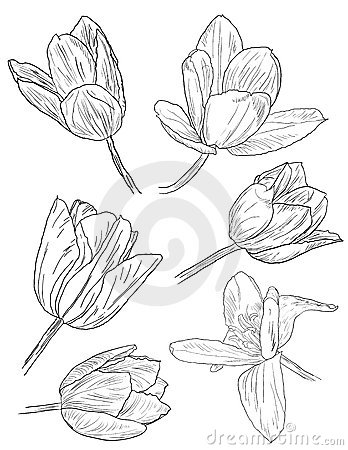 Collection of daffodil sketches