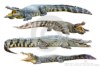Collection of freshwater crocodile isolated on whi