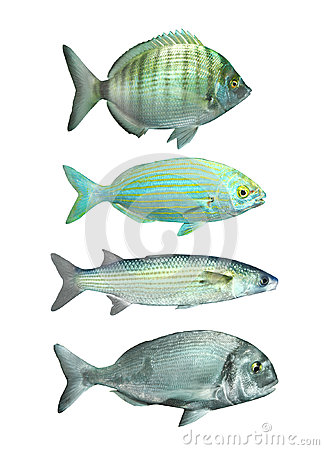 Collection of a mediterranean fish.