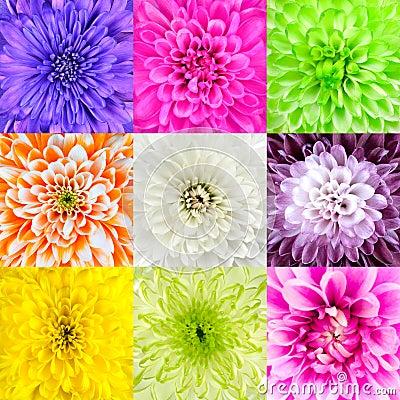 Free Collection Of Chrysanthemum Flower Macros Royalty Free Stock Image - 28845126