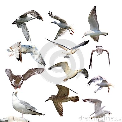 Free Collection Of Isolated Gulls Royalty Free Stock Images - 33415059