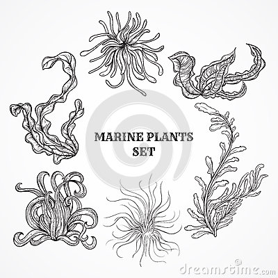 Free Collection Of Marine Plants, Leaves And Seaweed. Vintage Set Of Black And White Hand Drawn Marine Flora. Royalty Free Stock Image - 57944656