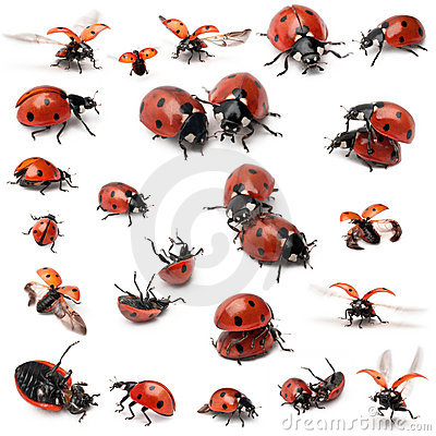 Free Collection Of Seven-spot Ladybirds Stock Image - 21062481