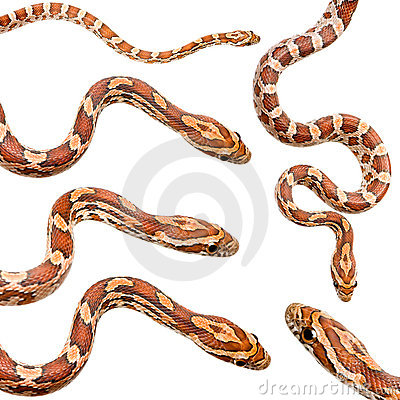 Free Collection Of Six Corn Snake Stock Images - 3284324