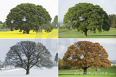 Collection of Single oak tree in four seasons