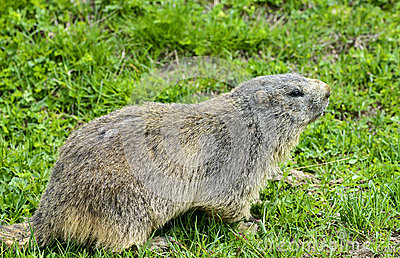 Colledell agnello: groundhog close-up