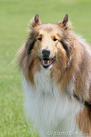 Free Collie Royalty Free Stock Photography - 5382767