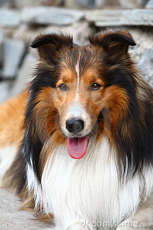 Free Collie Dog Stock Image - 4958521