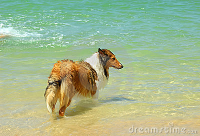 Collie Dog on Beach