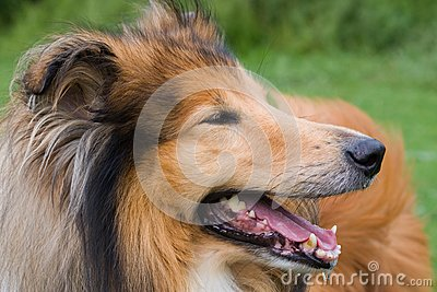 Collie dog close-up