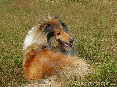 Collie dog laying in grass