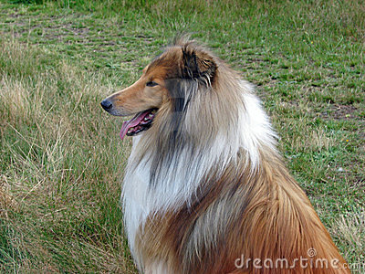 Collie dog in profile