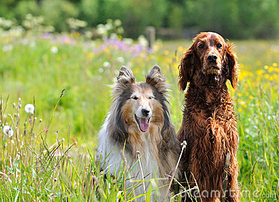 Collie and Irish Setter