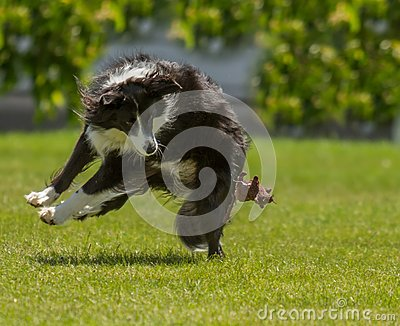 Collie at Play
