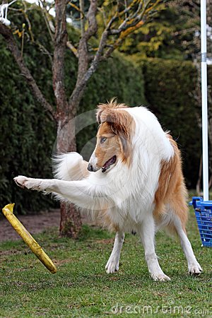 Collie is playing frisbee