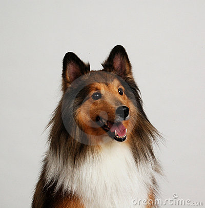 Free Collie Portrait Royalty Free Stock Photography - 1647107