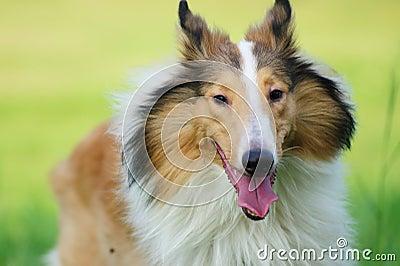 Collie rough dog