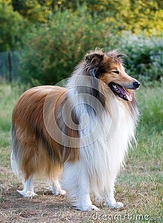 Collie Rough Dog Portrait