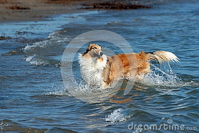 Collie in the sea