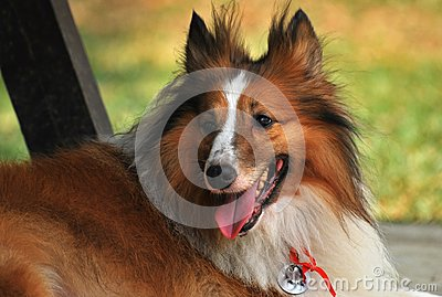 Collie áspera