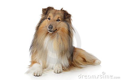 Collie on a white background