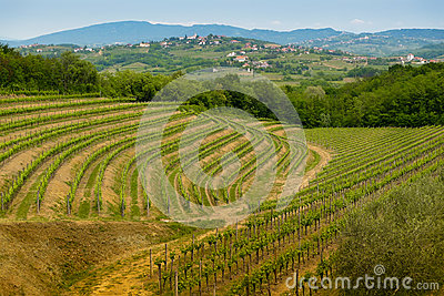Collio vineyards