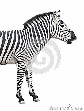 Colloqui della zebra isolati sopra briciolo