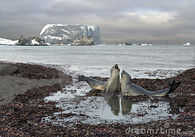 Colloquio degli elefanti di mare