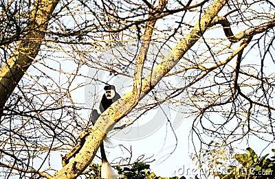 Colobus monkey in Kenya