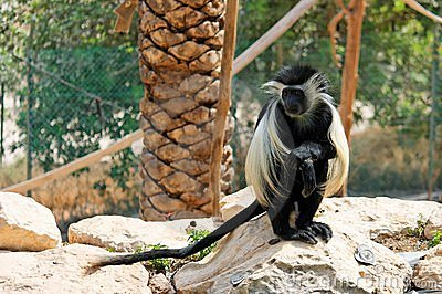 Colobus monkey sitting under the palm-tree