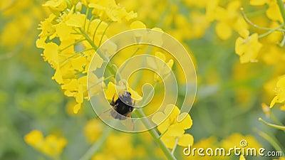 Colocación de una colza amarilla brillante con un abejorro almacen de metraje de vídeo
