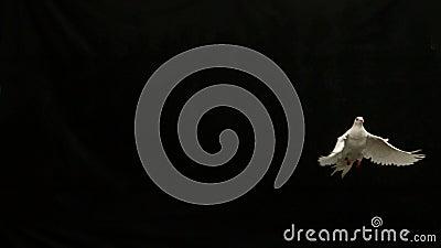 Colomba bianca del volo di pace sul fondo nero archivi video