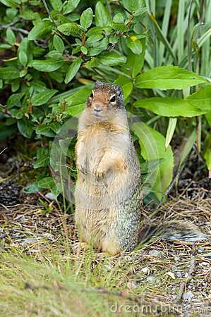 Colombian ground squirrel standing