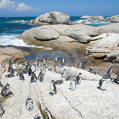 Colony of african penguins