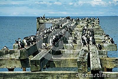 Colony of cormorants