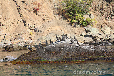 Colony crested cormorants on stones.