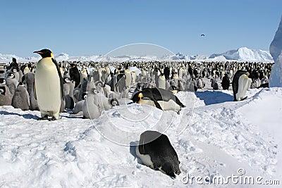Colony of emperor penguins