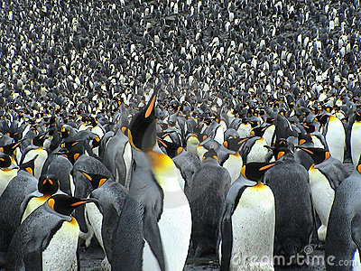 Colony of kings penguins