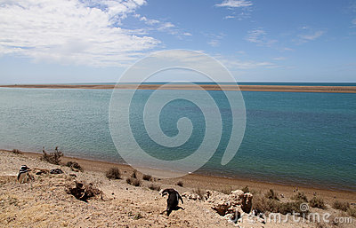 Colony of Magellanic penguins on the Patagonian coast.