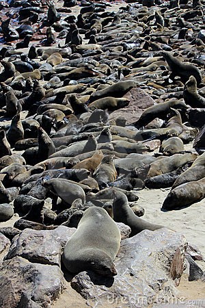 Colony of seals at Cape Cross Reserve, Namibia