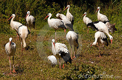 Colony of storks