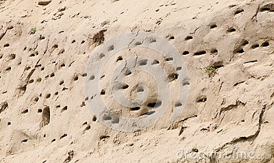 Colony of swallows, Active Sand Martin