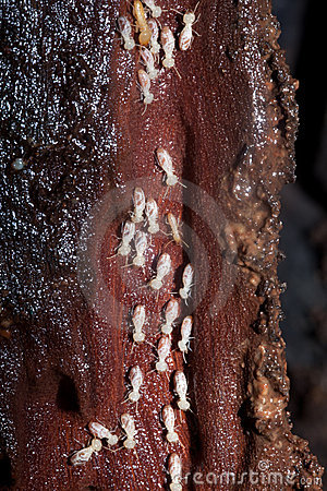 Colony of Termites destroying timber
