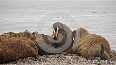 Colony of Walruses in Svalbard