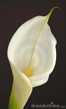 Free Color Cala Lilly Stock Photography - 87622