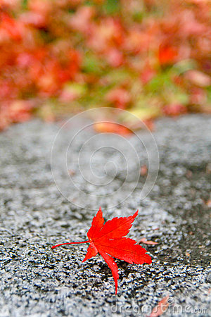 Free Color Change Maples In Autumn Royalty Free Stock Photo - 31795155