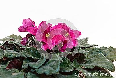Color de rosa violeta